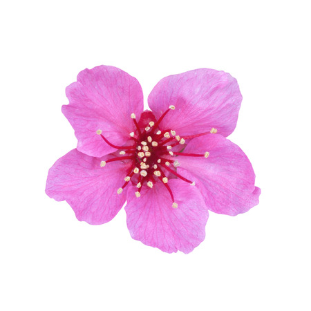 Cherry Blossom isolated on white background Stock Photo