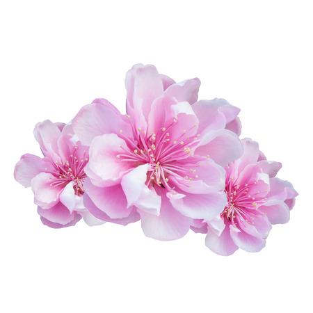 Cherry Blossom isolated on white background 免版税图像