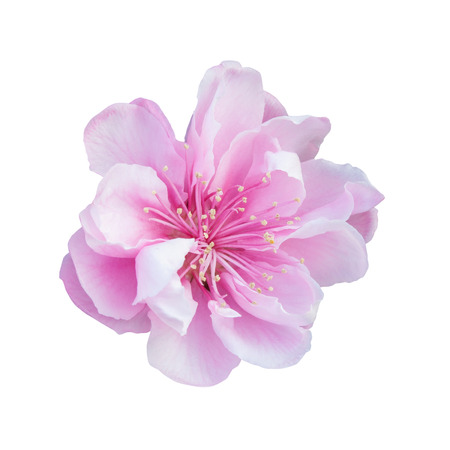 stamens: Cherry Blossom isolated on white background Stock Photo