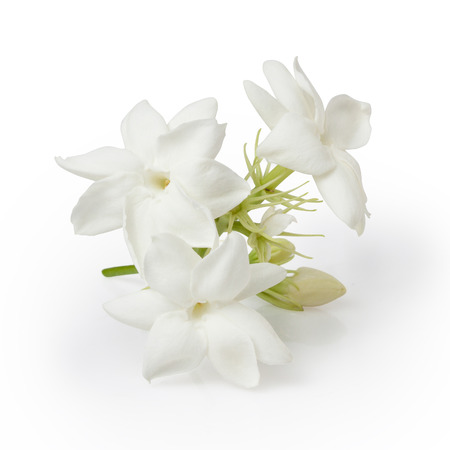 Jasmine Flower Isolated on White Background