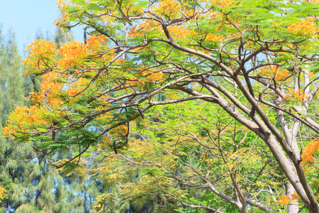 yellow flower tree: Flame Tree or Royal Poinciana tree in Park Stock Photo