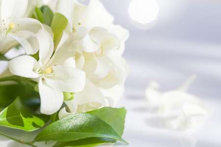 Jasmine Flower in Spring with Sun Rays and Bokeh 免版税图像