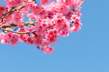 fleur de cerisier: Fleur de fleur de cerisier en fleurs