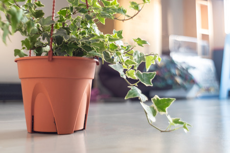 English Ivy plant in pot , home and garden decor Foto de archivo - 111347092