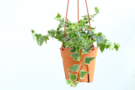 English ivy plant in pot, Indoor plant