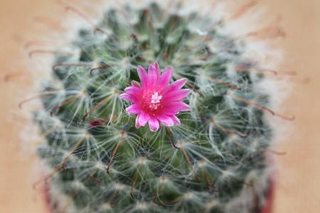 Cactus flower, close up Foto de archivo - 123524797