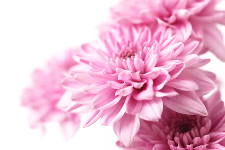 Pink Chrysanthemum isolated on white background,close up,soft focus Foto de archivo - 123524798
