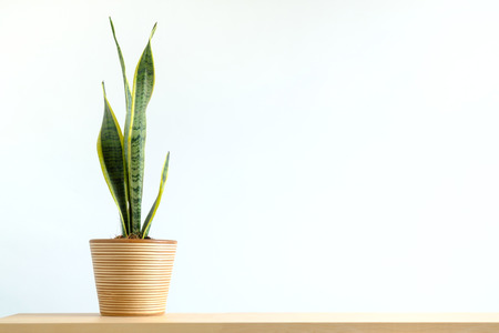 Sansevieria trifasciata or snake plant in pot on wood Foto de archivo - 123524805