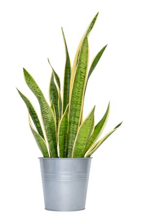 snake plant in pot, indoor plant isolated on white background