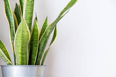 snake plant, indoor plant decor on white wall background
