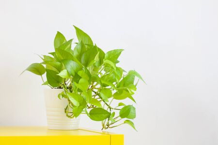Golden Hunter's Rolae or Devil's ivy plant in pot decorated on table