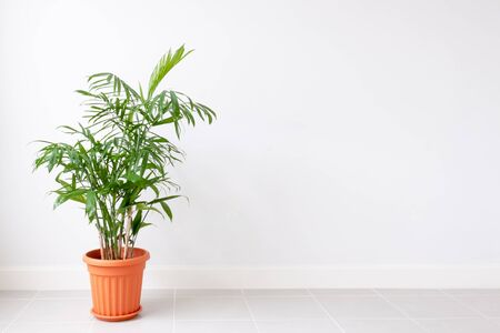 Green Plant in a pot on a white wall. Empty space.