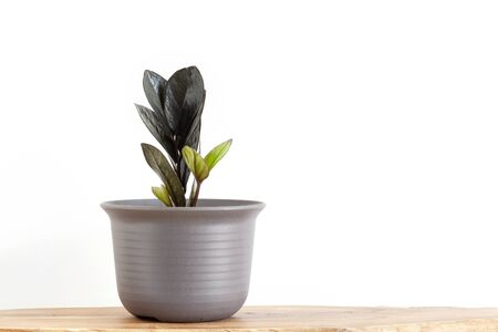 Black Zamioculcas house plant in pot on wood table with white wall background