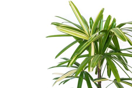 Lady Palm Plant isolated on white background