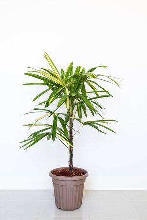Lady Palm lub bambusowa palma w doniczce na białym tle ściany Zdjęcie Seryjne