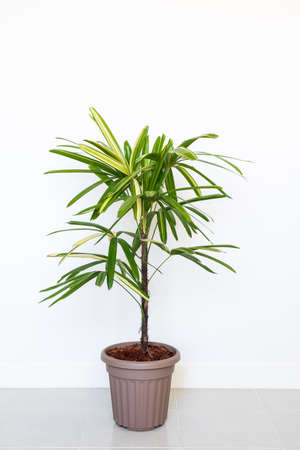 Lady Palm or Bamboo Palm in pot isolated on white wall background