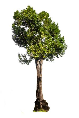 Big green single white background tree