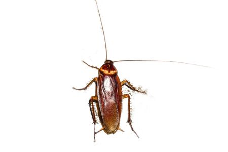 Cockroaches may foulest