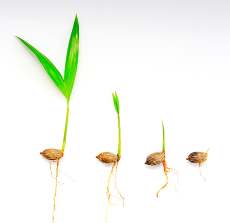 bean sprouts: palm seedling