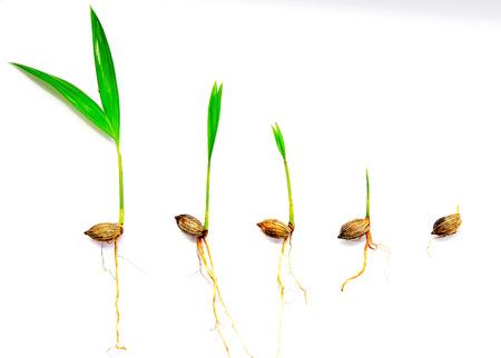 palm seedling
