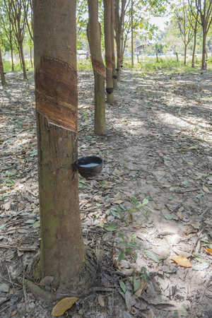 extracted: Hevea Brasiliensis : latex extracted from rubber tree as a source of natural rubber