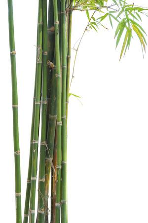 japones bambu: Bambú verde fresco aislado en el fondo blanco Foto de archivo