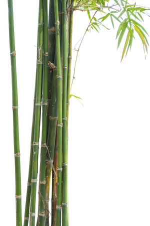 chinese bamboo: Fresh bamboo green isolated on white background Stock Photo