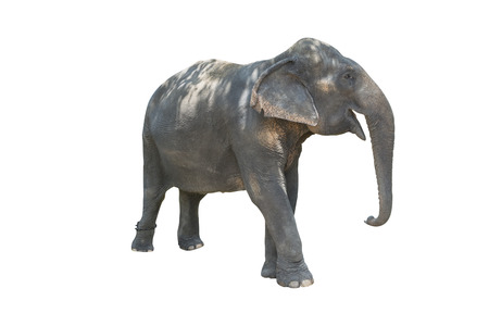 whose: Fatigue elephant whose legs were in chains.