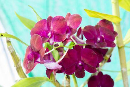 orchidea: orchid pink flower