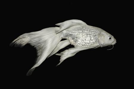 isolation: White koi fish isolated on Black background.