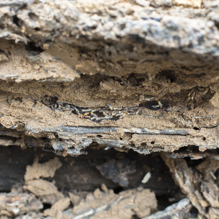 nuisance: Termite group on wood in termite holes. Stock Photo
