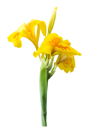 Yellow canna lily flowers on white background. Clipping path