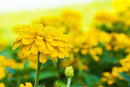 マリーゴールドの花 写真素材