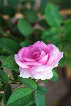 rosaceae: Rose,vine of genus Rosa Rosaceae