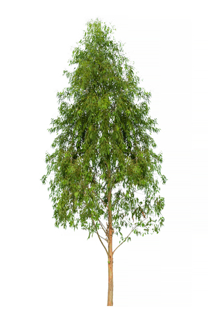 Eucalyptus Tree image, Tree object, Tree JPG isolated on white background 写真素材
