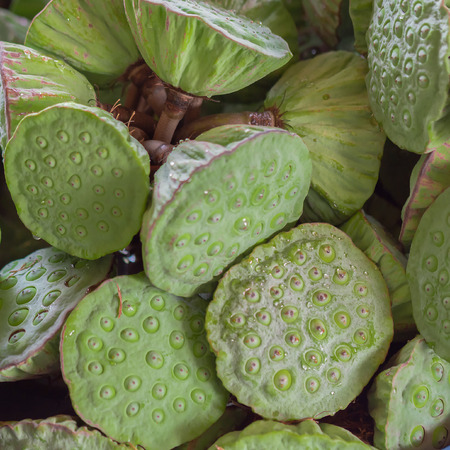lotus seeds: lotus seeds