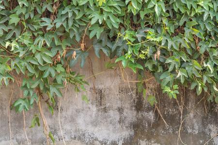 hojas parra: Vid Rama, Hojas de vid en el fondo de la pared Foto de archivo