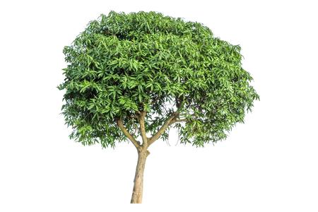 mango tree: Mango Tree isolated on white background Stock Photo