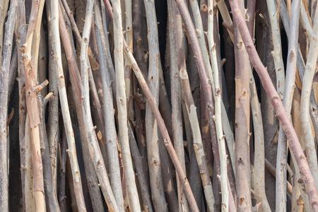 eucalyptus tree: eucalyptus tree dry background