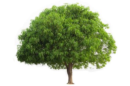Mango Tree isolated on white background Stock Photo