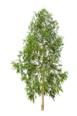 eucalyptus tree: eucalyptus tree isolated on white background