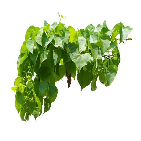 ivy hanging: Vine Branch, Vine leaves on white background Stock Photo