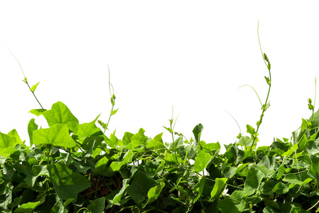 Vine Branch, Vine leaves on white background Stock Photo