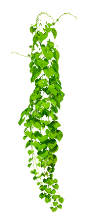 vine plants isolate on white background, Clipping path Stok Fotoğraf