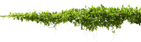 vine plant isolate on white background