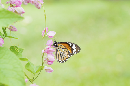 butterfly on pink flower vine plant