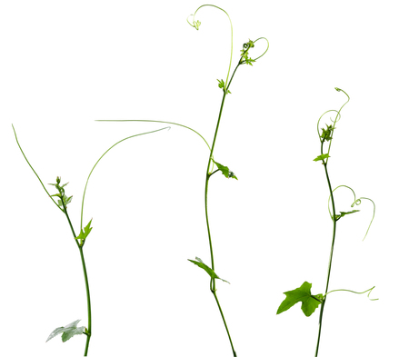 Vine plant isolated on white background