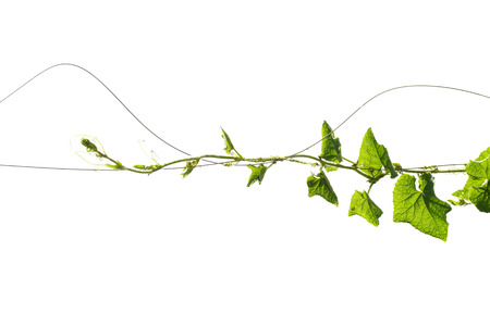 Vine Branch with leaves on white background Stock Photo