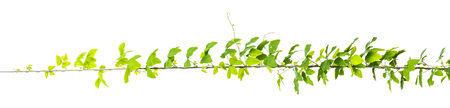 vine plants, jungle leaves isolated on white background