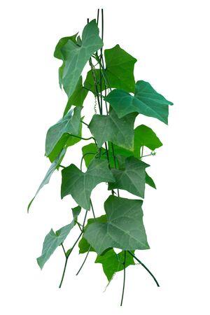 Plante de vigne, Nature Ivy laisse la plante isolée sur fond blanc, un tracé de détourage inclus. Banque d'images